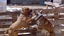 УЖАС: Десетки кучета тормозени до смърт! Разбиха ферма за бойни кучета на варненски дилър