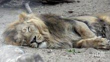 Четири тигъра и три лъва от зоопарк в Ню Йорк заразени с коронавируса