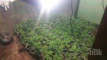 Разбиха селска наркооранжерия край Варна - ченгетата ахнаха от намереното количество марихуана