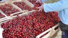 Коронавирусът промени традиционния празник на черешата в Кюстендил