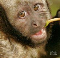 шаш маймуни откраднаха кръвни проби възможни носители covid