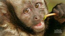 ШАШ! Маймуни откраднаха кръвни проби на възможни носители на COVID-19