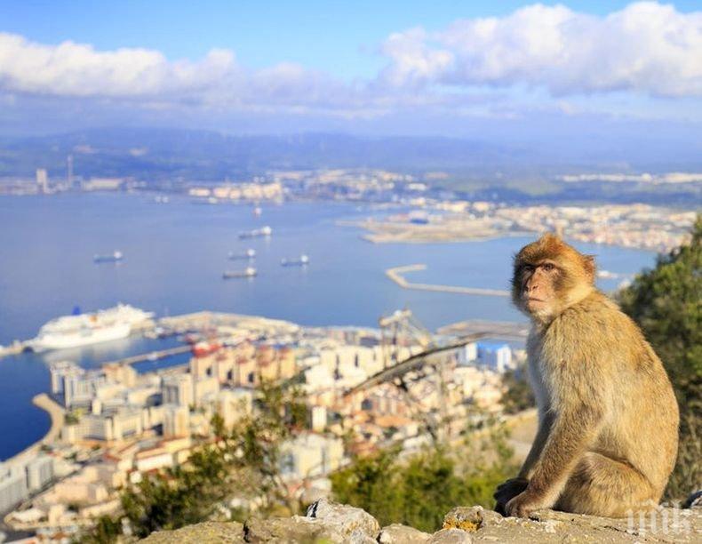 Властите в Гибралтар ще пазят маймуните от коронавирус