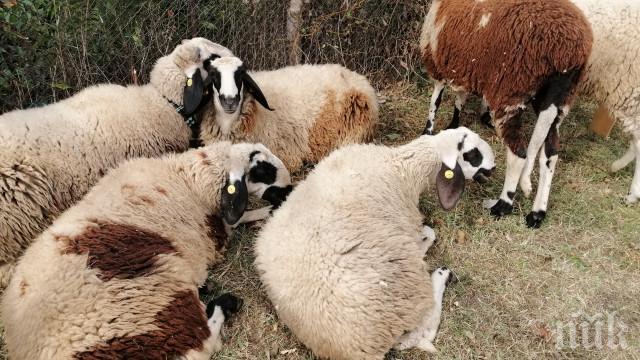 Овчар пасе животните си на сметище - конкуренти заградили всички ливади