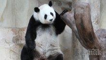 Панда беглец се измъкна от клетката си и се поразходи из датски зоопарк