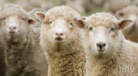 двама свиха овце направиха саздърма