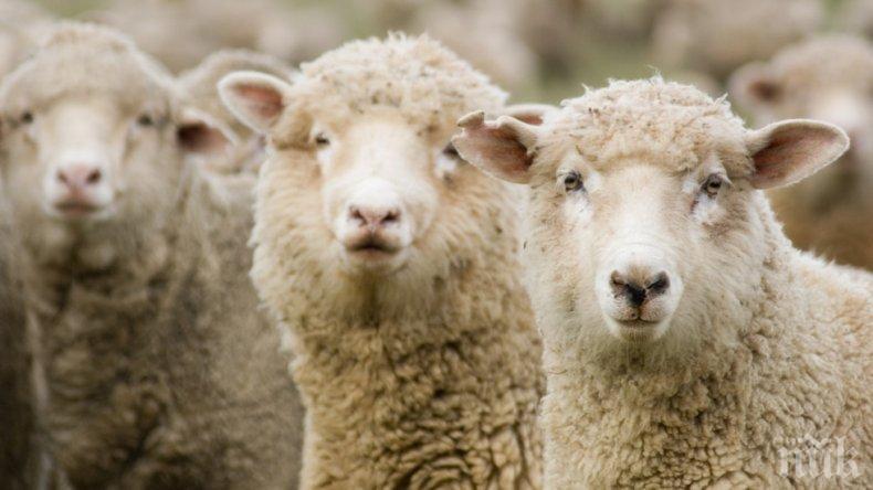 МИСТЕРИЯ: Стотици овце обикалят в странни кръгове (СНИМКА)