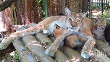 Рисчета се родиха в Софийския зоопарк
