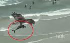 НЕВИЖДАНО! Орел сграбчи акула и прелетя с нея над оживен плаж (ВИДЕО)