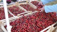 Стотици берачи на череши се струпват в Кюстендилско - ще се спазват ли противоепидемичните мерки?
