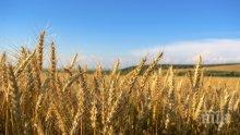 Зърнопроизводители бият тревога: Реколтата може да се провали тази година