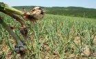 Цените на чесъна паднаха наполовина в Шуменско