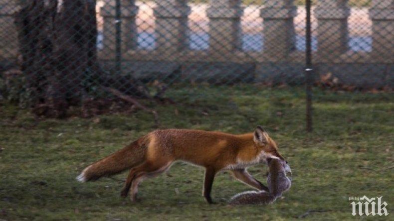 Лисици нападат кокошките в силистренски села