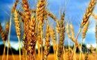 Ниски добиви от жътвата на пшеница отчитат в Добричко