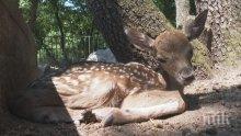 Новородено еленче се превърна в атракцията на хасковския зоопарк