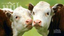 ДФЗ обезщетява стопанина на отровените крави край Димитроврад – ето каква сума ще получи