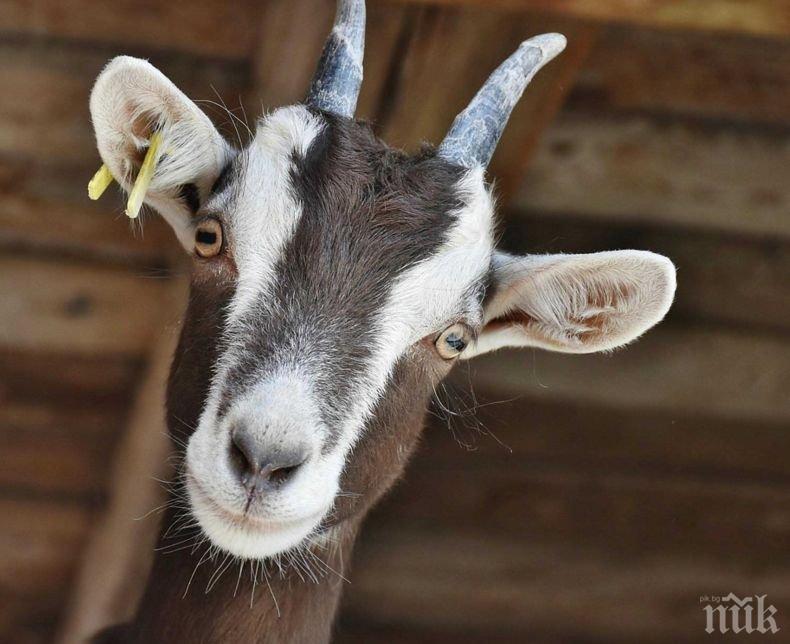 КУРИОЗ: Арестуваха коза за разходка без... маска (СНИМКА)