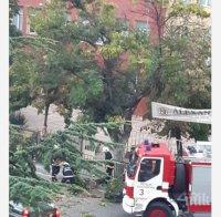 Дърво падна на кръгово кръстовище в Благоевград