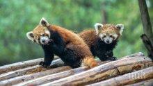 Редки червени панди се родиха в турски зоопарк