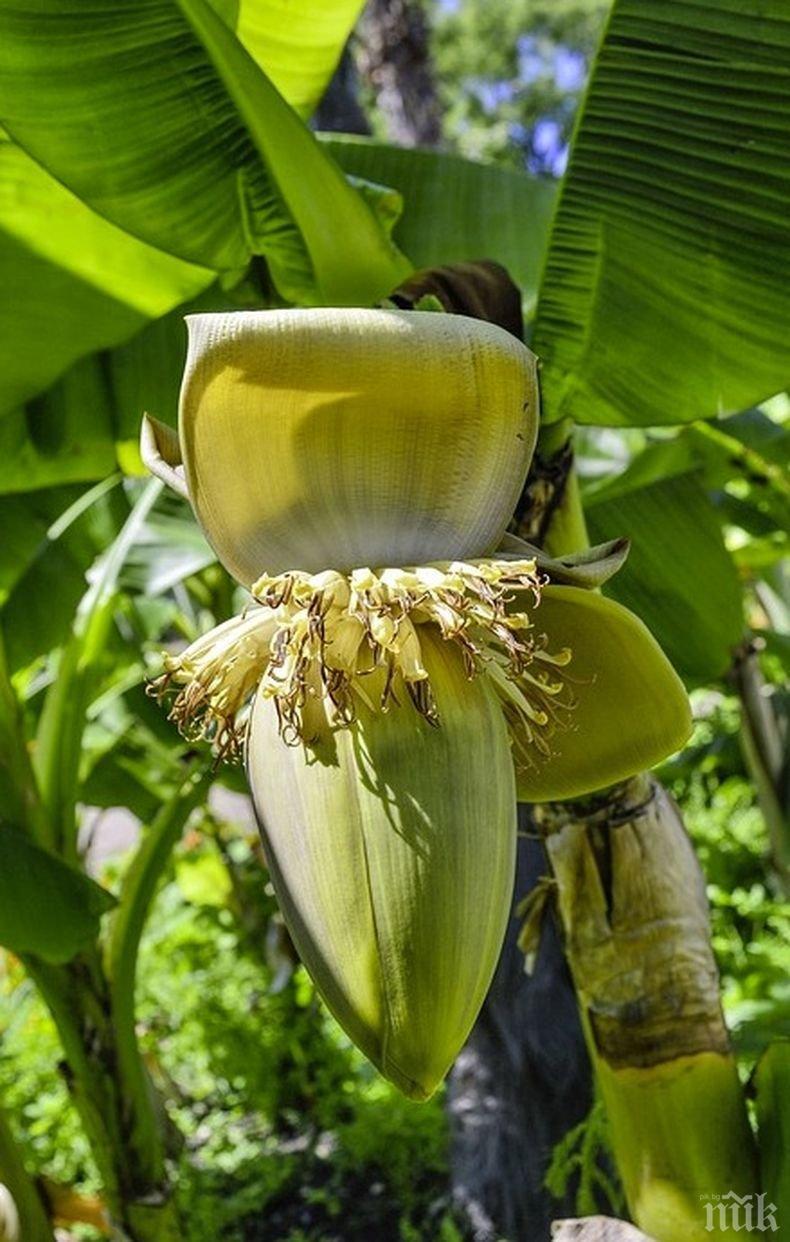 Учени предлагат в производството на автомобили да се използват бананови влакна