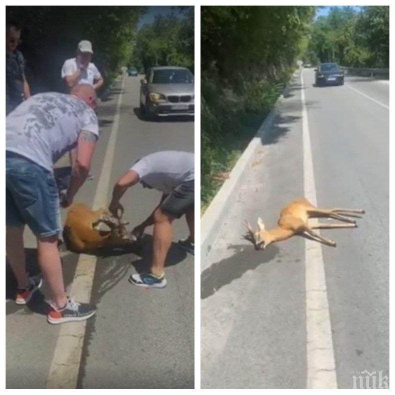 Мъже спасиха блъснато еленче края Арбанаси - полицията им направи скандал (ВИДЕО)