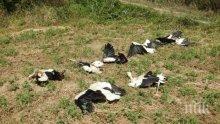 Ток уби 12 щъркела по жп линията Русе-Варна