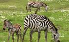 Зоопаркът в София се сдоби със стадо равнинни зебри