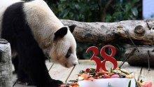 Най-възрастната панда в света навърши 38 години