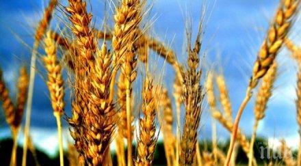 млн тона произведената пшеница 2020 нас