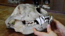 Непознат вид къртица и черепи от мечки показват в природонаучния музей