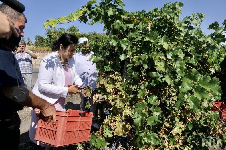 Министър Танева: За първи път тази година гроздопроизводителите получиха директна подкрепа