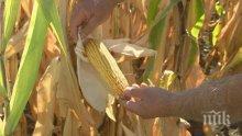 Слаба реколта от царевица и слънчоглед отчитат във Великотърновско