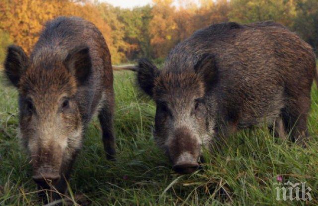 Нови случаи на африканска чума по свинете в германска провинция Бранденбург