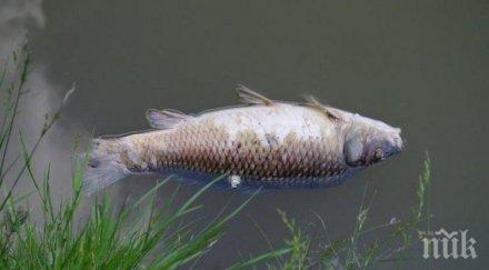 тонове мъртва риба изплува черноморец