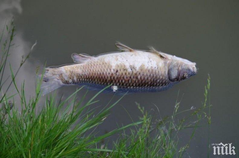 Тонове мъртва риба изплува край Черноморец