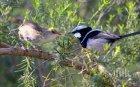 """Заради пандемията птиците пеят по-тихо и """"по-секси"""""""