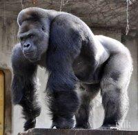 Мъжка горила нападна служителка в мадридския зоопарк