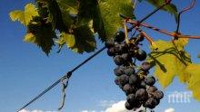 До 40% по-малко добив на грозде тази година в Североизточна България