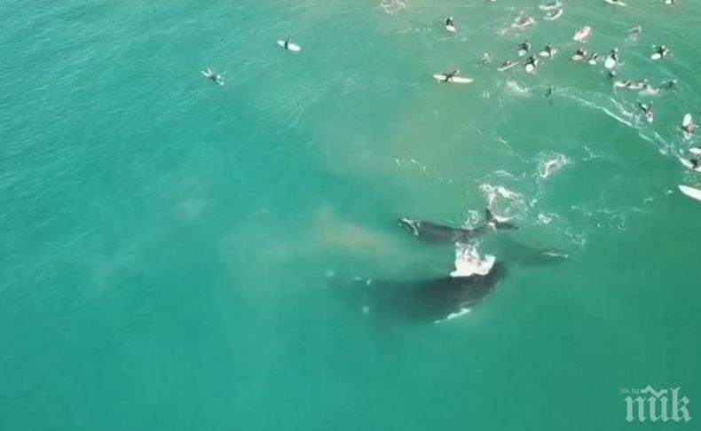 Спасиха 108 от океанските китове, заседнали в плитчини край Тасмания