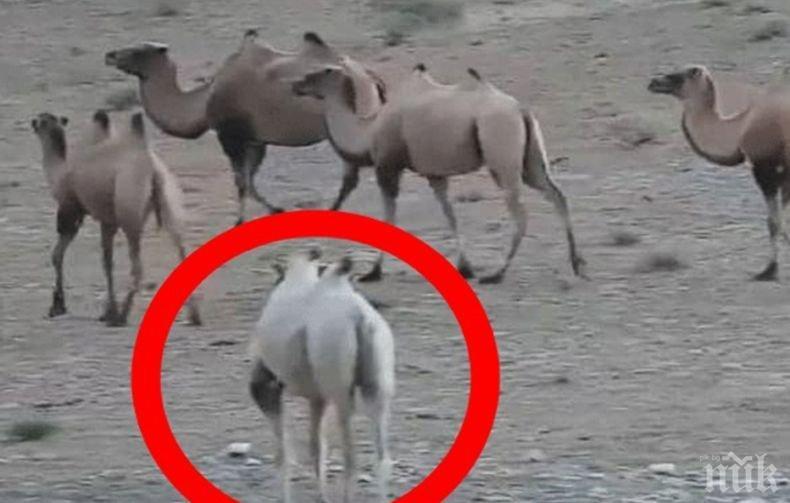 Заснеха уникална камила албинос в Китай