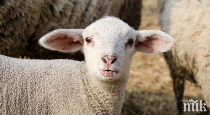 ПЪЛЕН АБСУРД: Овца обикаля в центъра на Пловдив (СНИМКА)