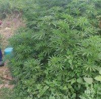 Задържаха софиянец с наркооранжерия в Мизия