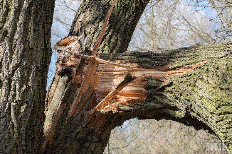 """Дърво се стовари върху Мерцедес"""" (СНИМКИ)"""