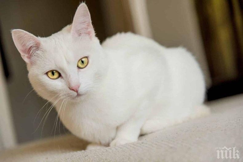ЗНАК ОТ СЪДБАТА: Какво означава, ако бяла котка пресече пътя ви?