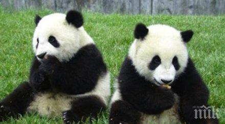 финансови затруднения върнат китай пандите зоопарка единбург