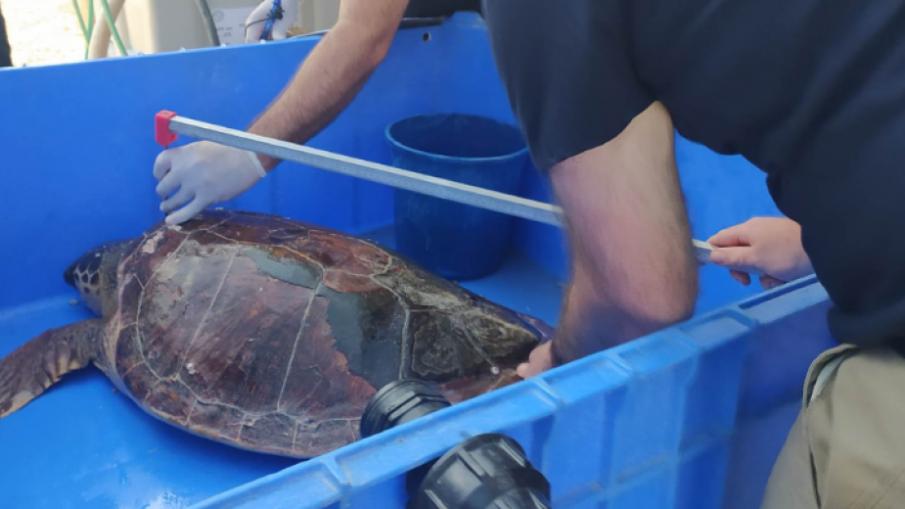 Екокатастрофа превърна костенурки в топки мазут
