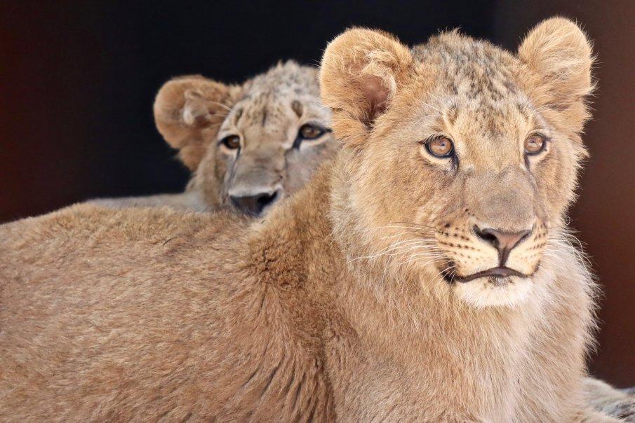 Германски медици лекуват лъва Терез