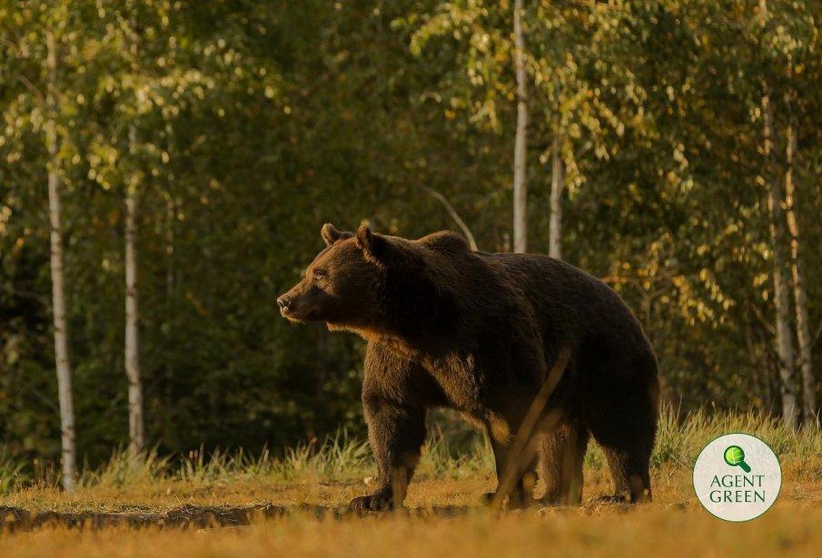 Подозират принц на Люксембург за отстрела на най-голямата мечка в Европа