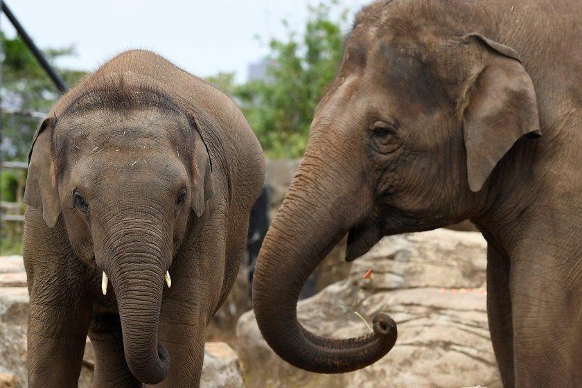 УНИКАЛНО! Стадо слонове избяга от резервата си и ог година обикаля градове и паланки в Китай (ВИДЕО)