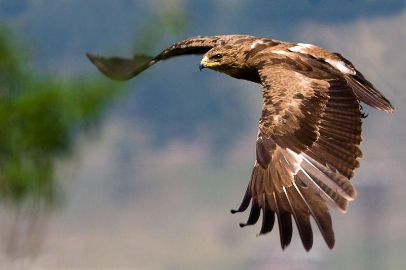 Откриха нови 37 гнезда на малък креслив орел у нас